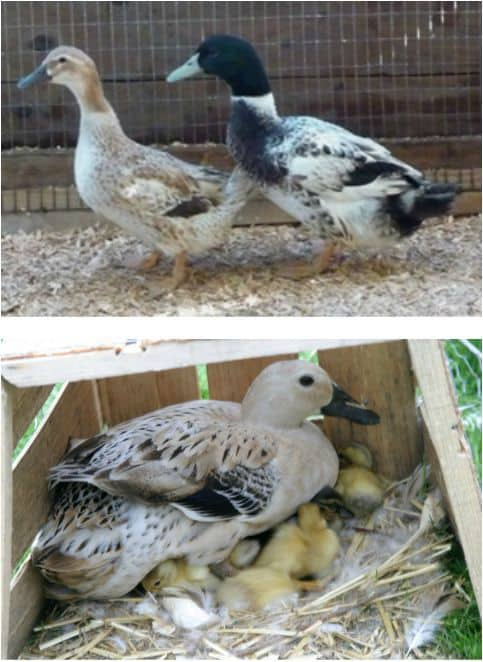 Duck Breeds: Male and Female Welch Harlequin and a female Welch Harlequin with baby chicks