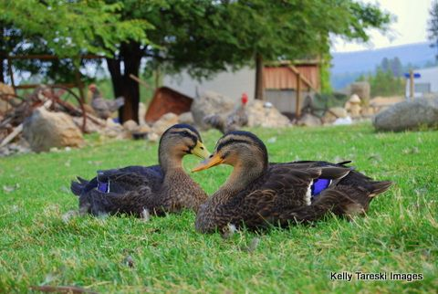 Duck Breeds: Two Rouen Ducks sitting on the grass together