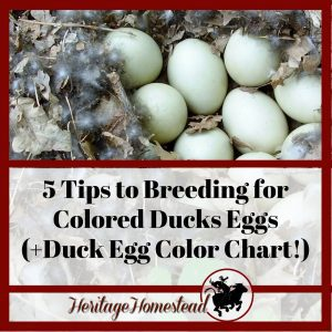 Duck Egg Color and 5 tips to breeding for colored eggs