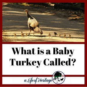 What do you call a baby turkey? It's a fun name! There's a few more things to know as well...check it out!