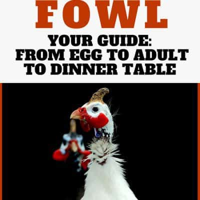 Raising Guinea Fowl from Egg to Adult to Dinner Table