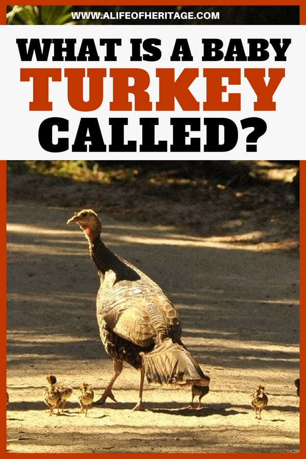 What is a baby turkey called? It's a fun and unique name! Find out here and more interesting turkey facts!