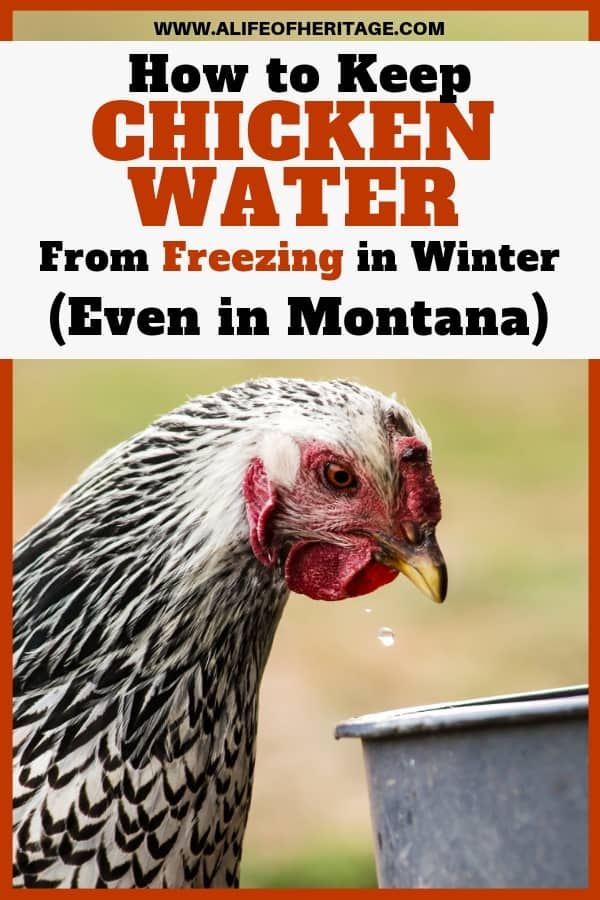 Chicken water can be a hassle to keep unfrozen in the coldest part of winter. But this will help you keep your chickens in water all winter long!