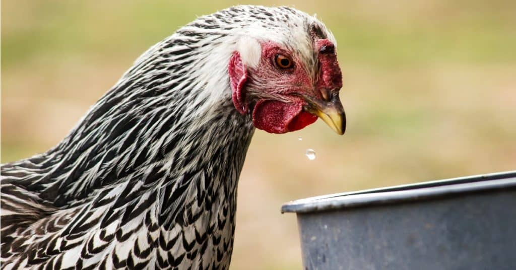 Chicken care in winter can be tough. Keep their water unfrozen with this helpful tool.