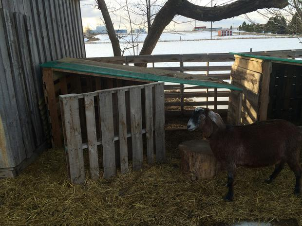 How to build a goat shelter using pallets. An easy and cost effective way to use easy to find material to make great winter shelters for your goats.